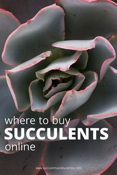 If you've wondered where you can find colorful succulents to buy, look no further!