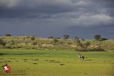 """Like some kind of Eden."" Green season in the Kalahari. South Africa, Safari, Golf Courses, Seasons, Green, Animals, Animales, Animaux, Seasons Of The Year"
