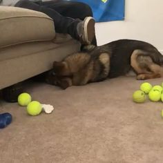 Sound on 🔈 One of my favorite things to do is to put all my toys under the couch and then start crying so that someone will get them and… German Shepherd Videos, German Shepherd Puppies, German Shepherds, Tiny Puppies, Cute Puppies, Cute Dogs, Cute Baby Animals, Funny Animals, Worms In Dogs