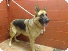 Downey, CA - German Shepherd Dog Mix. Meet MAYA, a dog for adoption. http://www.adoptapet.com/pet/13125455-downey-california-german-shepherd-dog-mix