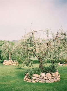 Stone walled olive trees in Tuscany