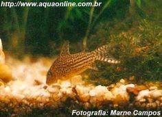 Nome científico:Corydoras haraldschultzi  Nome popular (BR):