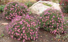 Reunusasteri . Matala ja tuuhea kasvutapa. Suikeat, tummanvihreät lehdet. Kukat päivänkakkaramaiset. Kukkii pienehköin, violetein, valkoisin, ruusun tai karmiininpunaisin kukin hyvin runsaslukuisesti. Myöhäinen kukkija.