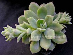 Echeveria 'Frosty' -  A compact cultivar forming rosettes to 15cm in diameter. Plump silvery green perfectly-formed leaves. Offsets freely. Beautiful bright orange winter flowers. Sun/part sun.