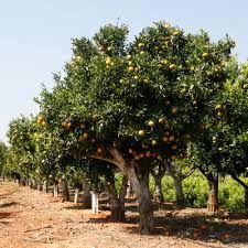 Valencia Orange Tree Pictures