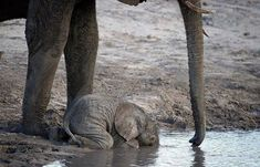 Funny pictures about The Cutest Baby Elephant. Oh, and cool pics about The Cutest Baby Elephant. Also, The Cutest Baby Elephant photos. Cute Baby Elephant, Cute Baby Animals, Funny Animals, Pink Elephant, Newborn Elephant, Funny Elephant, Wild Animals, Beautiful Creatures, Animals Beautiful