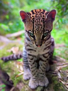 The Majestic Baby Ocelot 🐱 . One of the most beautiful animals in the animal kingdom, the Ocelot is native to the Americas and Mexico. Most Beautiful Animals, Beautiful Cats, Beautiful Creatures, Cute Baby Animals, Animals And Pets, Funny Animals, Animals Kissing, Wild Animals, Big Cats