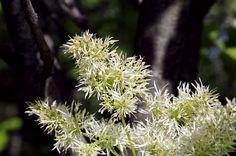 Frassino minore più comunemente conosciuto come Orniello: una pianta amante del caldo e delle posizioni luminose!