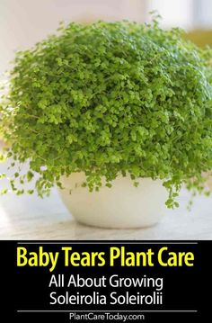 Baby Tears Plant Care: All About Growing Soleirolia Soleirolii Baby Tears Plant (Soleirolia Soleirolii) creeping herb, bushy growth, many tiny white flowers, suitable ground cover, tolerate the extremely warm temperatures. Short Plants, Tall Plants, Outdoor Plants, Outdoor Gardens, Small Indoor Plants, Terrarium Plants, Garden Plants, Flowering Plants, Begonia
