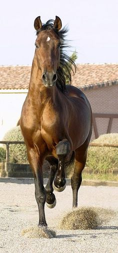 The color of this horse is amazing! He looks like chocolate!