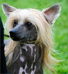 Picture of beautiful Chinese Crested dog posing at a dog show