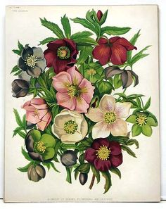 """Gorgeous colors in this botanical print of flowering Hellebores from """"The Garden"""", Illustrated Weekly Journal of Horticulture, London 1879 - $35 via www.rare-posters.com"""