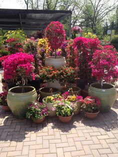Add Brilliant Color to your Home & Garden with Gorgeous, Vibrant Bougainvilleas. These Colors are Fantastic! http://www.facebook.com/pages/American-Plant/111708498851820 https://twitter.com/#!/American_Plant http://americanplant.net/index.php