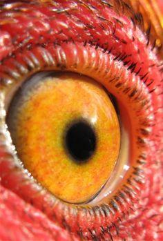 Chicken eye close up = like it's eye = take a LOOK Photo Oeil, Animal Close Up, Eye Close Up, Eye Pictures, Wild Eyes, Eagle Eye, Amazing Photography, Eye Photography, Human Eye