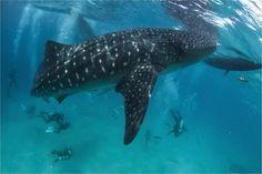 Китовая акула близ острова Себу, Филиппины. Автор фото — Сергей Гаспарян