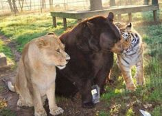 A lion, bear and tiger are lifelong friends. They were rescued from a drug dealer and when separated they became miserable. The rescue center in Georgia had to reunite them. They now play, cuddle, etc all day.