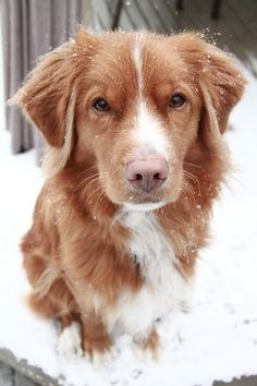 This is the dog Kyle and are getting when we move into a house - Nova Scotia Duck Tolling Retriever