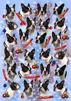 One can never have too many Boston Terriers!