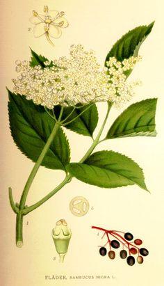 A faj kettős latin neve: Sambucus nigra Magyar név: fekete bodza Család: Adoxaceae  Rend: Dipsacales Életforma: N, M Termés: benge