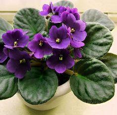 plantas de clima frio   Violeta africana, planta florida de clima frío