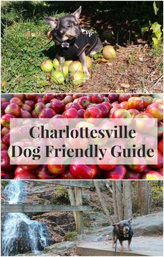 Dog Friendly Charlottesville Virginia via IrresistiblePets.com