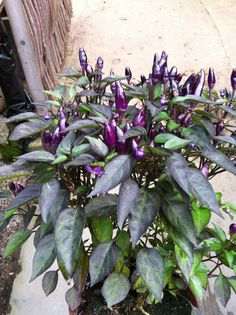 Preaty in Purple (Ulriksdal)