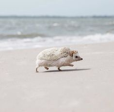 Hedgehog of the Day (@daily__hedgehog) | Twitter