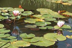 lilie wodne 3