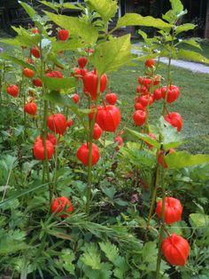 Chinese Lanterns; aka: (Physalis alkekengi) Growing roadside late summer in NC