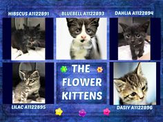 ***TO BE DESTROYED 09/13/17 *** RETURNED FROM FOSTER CARE   THE FLOWER KITTENS – A1122891, A1122894, A1122895, A1122896, A1122893