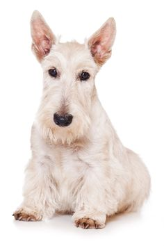 Scottish Terriers are a generally healthy breed, but there is one inherited medical condition unique to them. Click here to learn more!