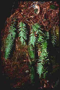 Licorice Root, tincture