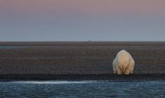 "One of Waymire's images—aptly entitled ""No Snow, No Ice""—shows a lone polar bear perched at the edge of a brown, sandy shoal which should have been white with snow at that time of the year. That startling photograph won an honorable mention in the 2016 National Geographic Photographer of the Year contest in the Environmental Issues category. Monica Corcoran, director of the photography contest, noted that the polar bear appears to be ""in a meditative Buddha stance"" which contributes to the…"