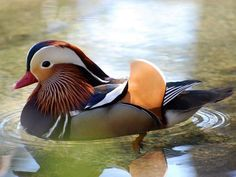 Pato mandarín | Aves Acuáticas