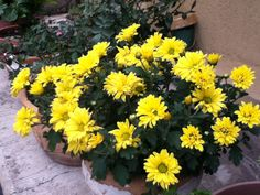 Crisantemo Chrysanthemum, Plants, Chrysanthemums, Bouquets, Plant, Planets, Chrysanthemum Morifolium