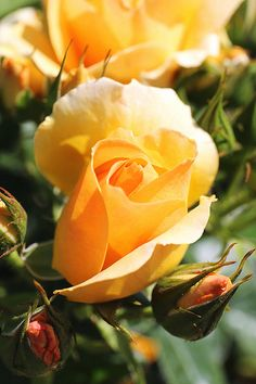Soft yellow rose A Rose is a Rose is a Rose Orange Rose flower Love Rose, My Flower, Pretty Flowers, Flower Power, Cactus Flower, Purple Flowers, Rose Orange, Yellow Roses, Pink Roses