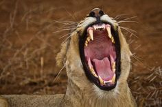 Here is a little hint to help you get that perfect shot of a lion yawning