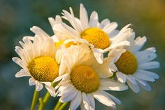 Chamomile for Beauty treatment & Skincare