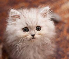 Cute Little Fluffy White Ball - Cat Smirk
