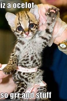 So cute, i want an ocelot of my own.