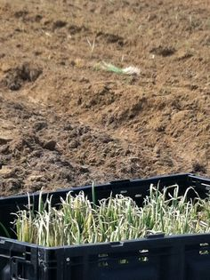 For the first time, there will be an onion field at the Vidalia Regional Airport for people to see during the festival. Finally in the ground! Thanks to the UGA Vidalia Onion & Vegetable Research Center!!!