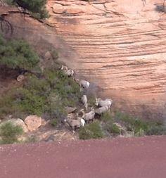 Big Horned Sheep Zion National Park