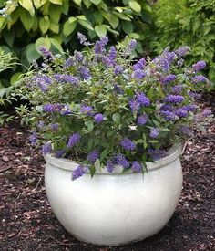 #pottery #pots #containers #planters  dwarf butterfly bush in a pot... i need this!