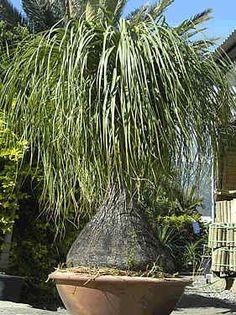 Image Detail For Beaucarnea Recurvata 10 Seed Ponytail Palm 1 00 Being Plants