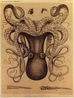 "Octopus Marmoratus from ""Kunstformen der Natur"" (Art Forms of Nature) by Ernst Haeckel Octopus Illustration, Botanical Illustration, Le Kraken, Natural Form Art, Octopus Art, Octopus Drawing, Octopus Painting, Octopus Tattoos, Arte Horror"