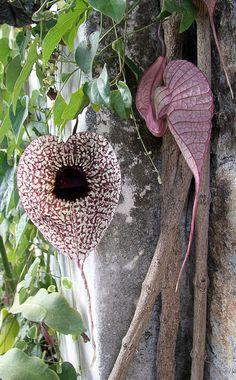 Pelican Plant, (Aristolochia grandiflora), La Antigua, Guatemala by N3074Echo, via Flickr