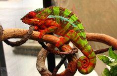 Пантеровый хамелеон | chameleon world