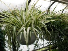 Indoor and garden plants against negative energy - Decoration Solutions Cactus Plants, Garden Plants, Indoor Plants, Multiplier Des Plantes Grasses, Air Cleaning Plants, Chlorophytum, Balcony Flowers, Birthday Table, Deco Floral