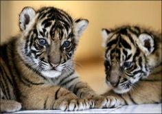 tiger cubs animals