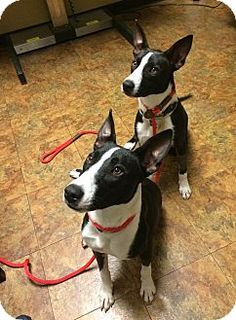TIA IS ADOPTED - Jersey City, NJ - SEE SPOT RESCUED, Basenji/Collie Mix. Meet Tia Mowry, a dog for adoption. http://www.adoptapet.com/pet/14978457-jersey-city-new-jersey-basenji-mix